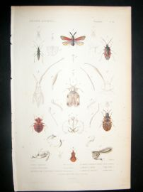 Cuvier C1840 Antique Hand Col Print. Insects 91